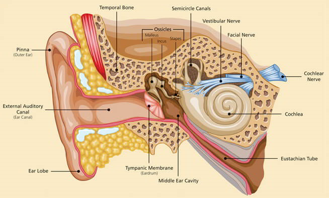Ear nose and throat and the opening into the middle ear is called the ear canal at the end of the ear canal is the eardrum which vibrates in response to sound waves ccuart Images