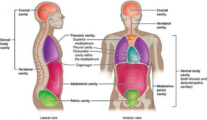 major body cavities  their subdivisions and membranes