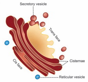 Golgi apparatus and its functions golgi apparatus is positioned near the nucleus it has 2 ends or faces particularly cis face and transface the cis face is placed near the endoplasmic ccuart Choice Image