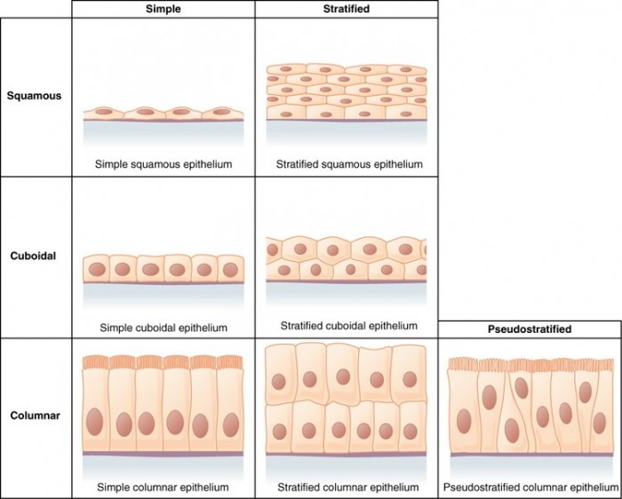 epithelial tissues \u2013 simple and stratified functions, locations and Stratified Cuboidal Cartoon epithelial tissues, or epithelia (singular, epithelium), may be composed of one or more layers of cells the number of cell layers and the shape of the