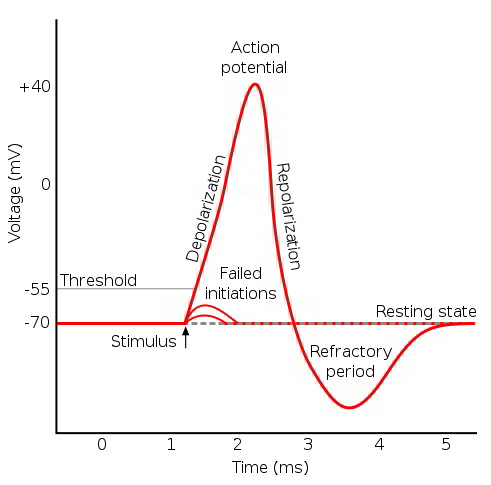 Action potential an action potential results from a sequential change in ion permeabilities an action potential generated by a nerve axon is used to illustrate the ccuart Image collections