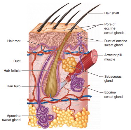The Accessory Structures Of The Skin Hair, Glands, And Nails Develop From  The Epidermis. These Structures Originate In Either The Dermis Or The  Subcutaneous ...