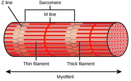 blank sarcomere diagram blank head diagram structure of skeletal muscle – earth's lab #8