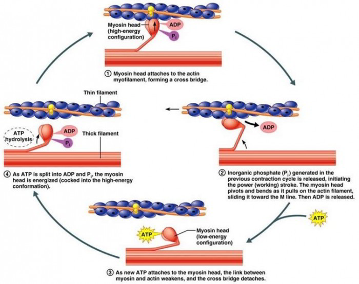 Muscle Contraction 8