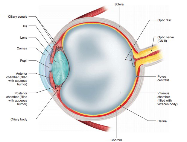 The structure of the eye and the functions of these accessory the eye is a hollow spherical organ about 25 cm 1 in in diameter it has a wall composed of three layers and internal spaces filled with fluids that ccuart Images