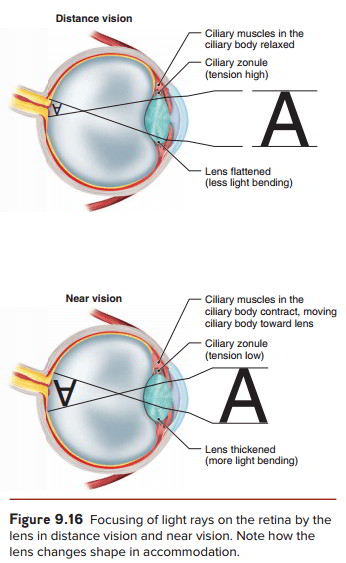 The structure of the eye and the functions of these accessory internal layer the filmlike retina ret i nah lines the internal surface of the eye posterior to the ciliary body the retina contains two types of ccuart Images