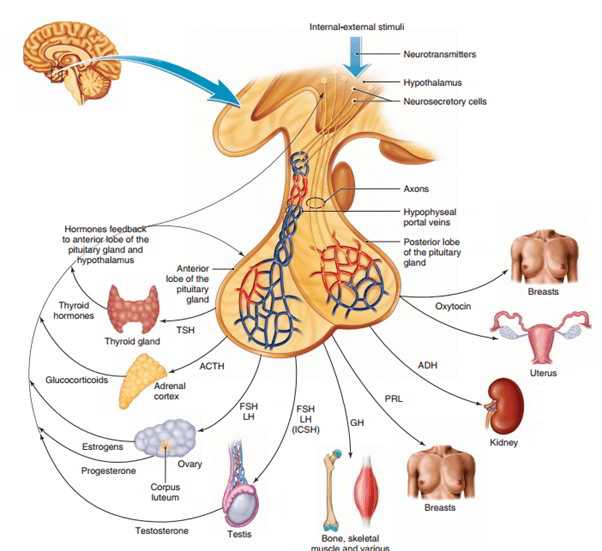 Pituitary Gland Control And Hormones Of Anterior And Posterior Lobe
