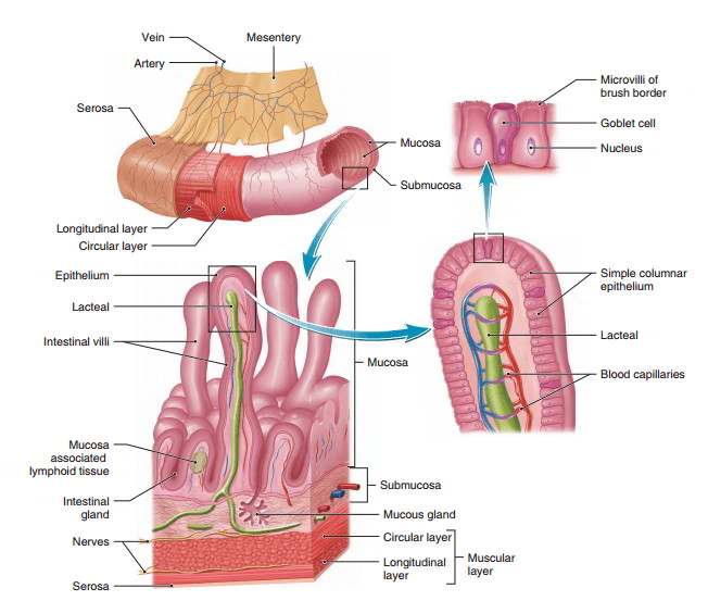 Alimentary Canal Characteristics And Layers Composing Its Wall