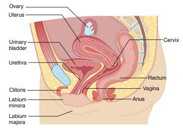female the sexual organs Diagram of
