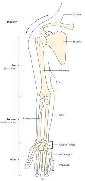 Easy Notes On 【Parts of the Upper Limb】Learn in Just 3 Minutes!