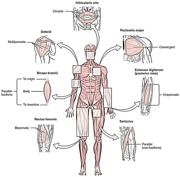Actions Of Skeletal Muscles Origin Insertion And Muscle Interactions