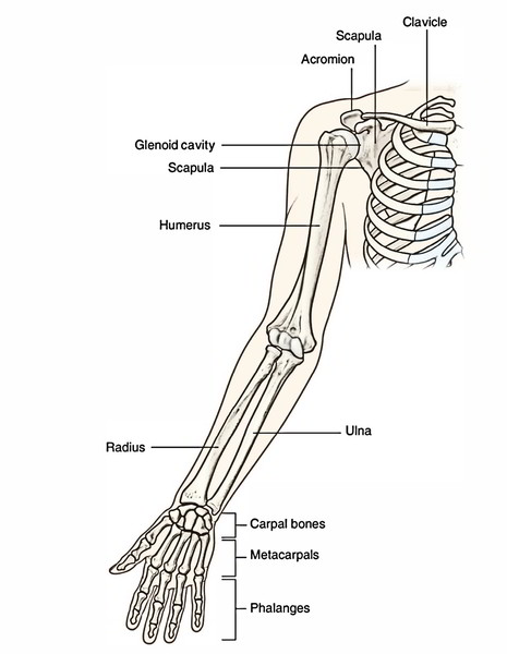 Easy Notes On 【Bones of the Upper Limb】Learn in Just 3 Minutes!