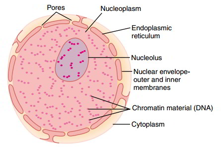 Nucleus structure components and functions structure of nucleus ccuart Image collections