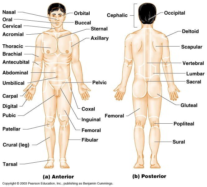 Directional Terms Anatomical Position Major Body Regions on sternum model