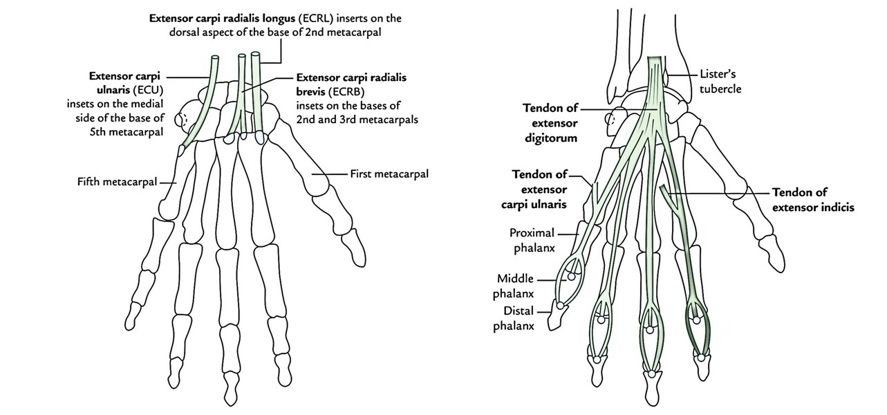 Easy Notes On 【Muscles of the Posterior or Back of Forearm】