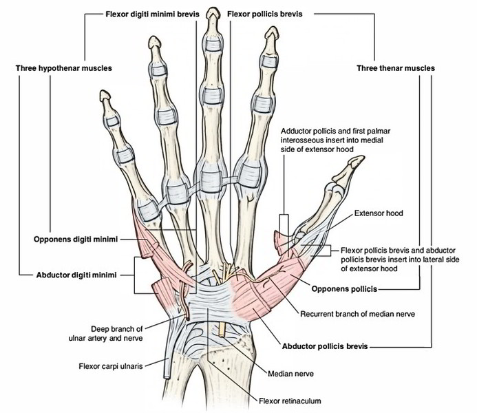 Easy Notes On 【Intrinsic Muscles of the Hand】Learn in Just 3 Mins!