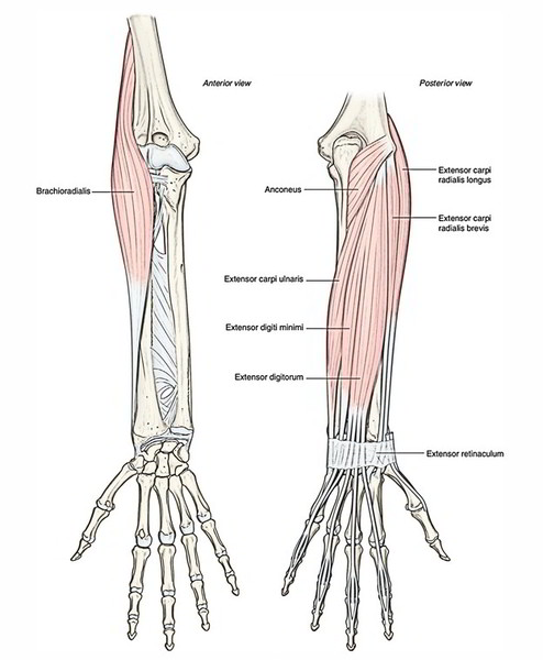 Superficial layer of muscles in the posterior compartment of the forearm