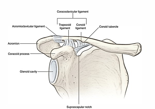 Easy Notes On Acromioclavicular Jointlearn In Just 3 Minutes