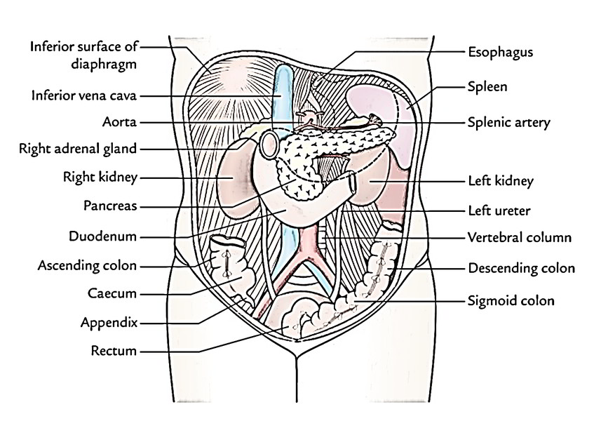 easy notes on  u3010abdominal cavity u3011learn in just 3 minutes