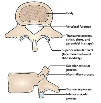 Easy Notes On 【Lumbar Vertebrae】Learn in Just 4 Minutes!