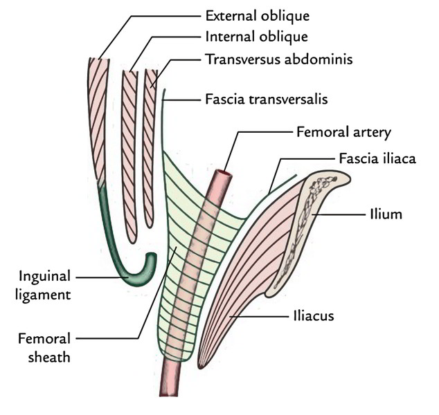 Easy Notes On 【Femoral Sheath】Learn in Just 4 Minutes!