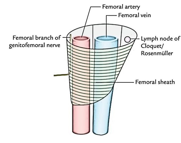 Femoral Sheath - Anatomy