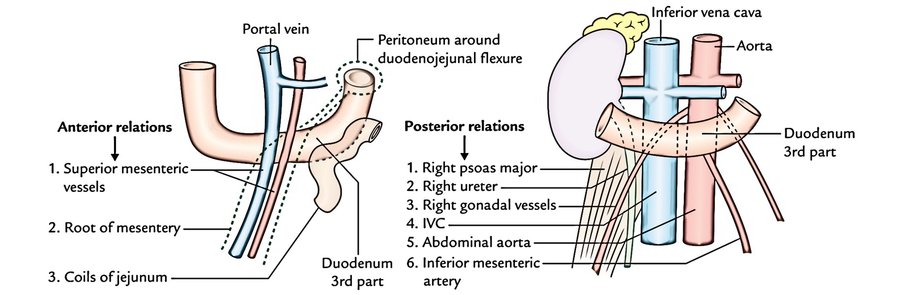 Easy Notes On 【Duodenum】Learn in Just 4 Minutes!