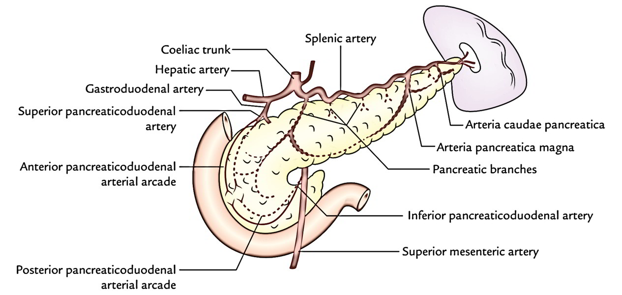Easy Notes On 【Pancreas】Learn in Just 4 Minutes!