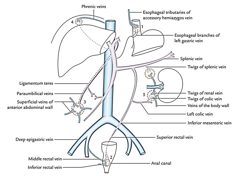 easy notes on  u3010portal vein u3011learn in just 4 minutes