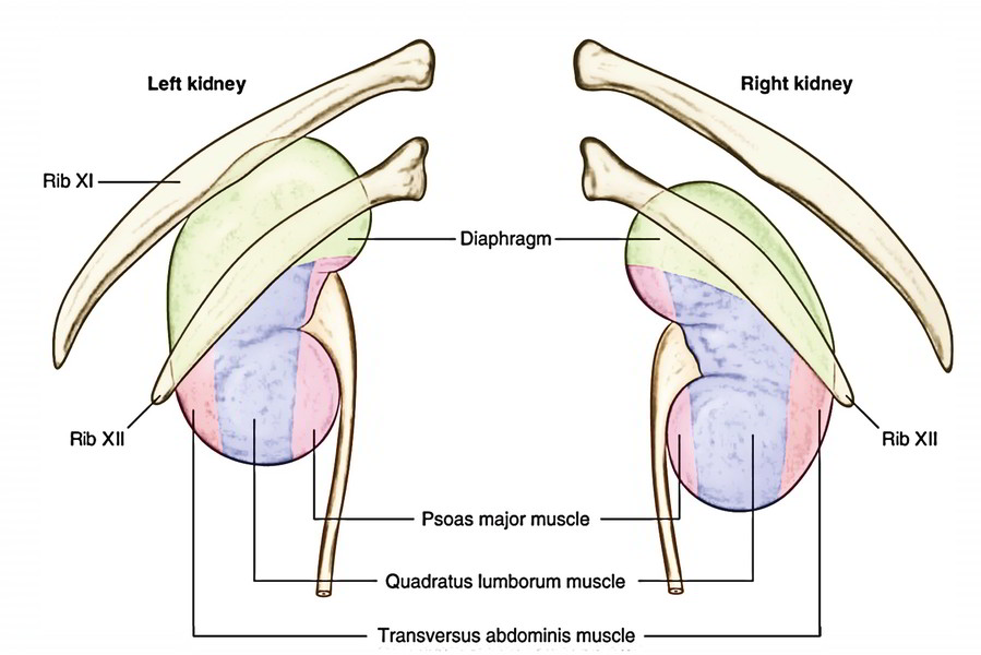 Kidneys furthermore Anatomy Of Hip Joint Ligaments Yoga And Your Hips Part 1 Jason Crandell Vinyasa Yoga Method besides 12peripheral additionally 1961789 Overview as well 71987. on abdominal regions and their organs