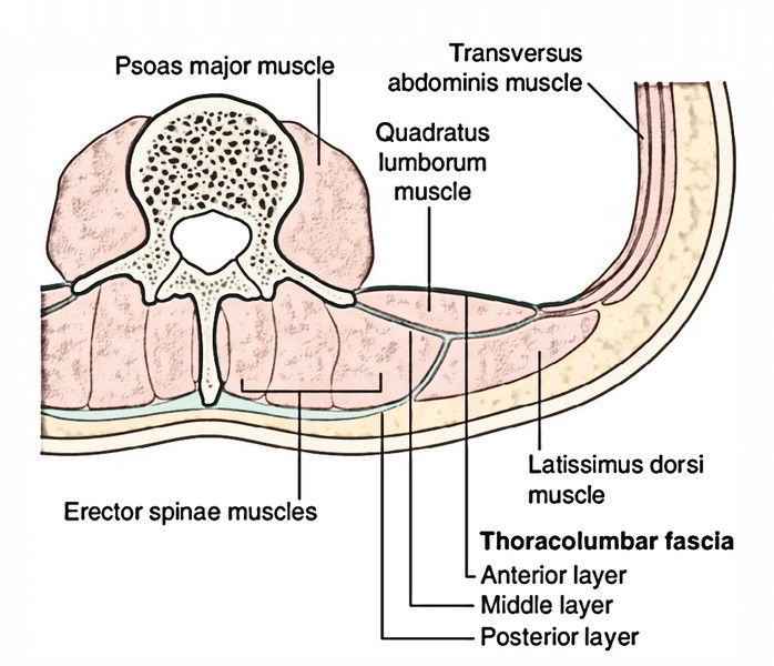 23 in addition 47385 as well 7th Grade Unit 5 The Structure And Function Of Body Systems Lesson 1 Muscular Skeletal And Integumentary Systems besides Anatomy Diagram Organs Abdominal Organ Anatomy Chart Anatomy Human Body as well Thoracolumbar Fascia. on male body organs