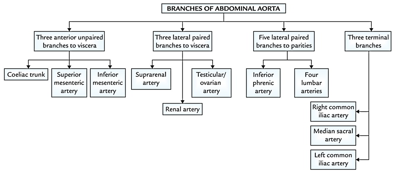 Easy Notes On 【Abdominal Aorta】Learn in Just 3 Minutes!