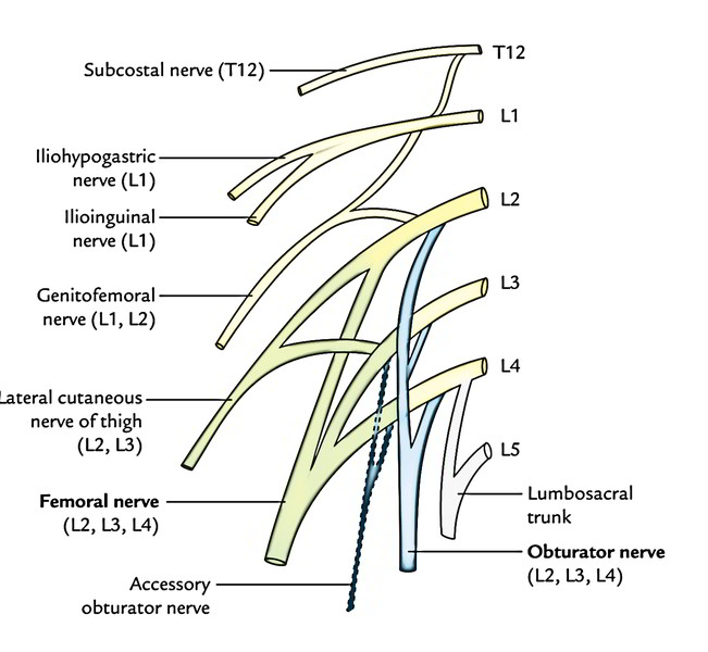 nervi furcalis is the term sometimes used to designate the ramus of the 4th lumbar nerve because it forms the link between the sacral and lumbar plexuses