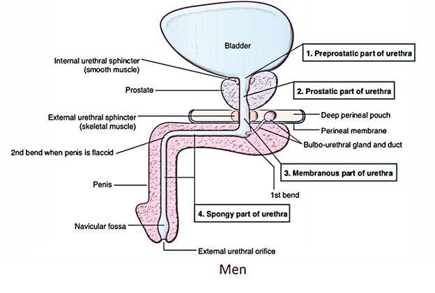 Male urethra anatomy