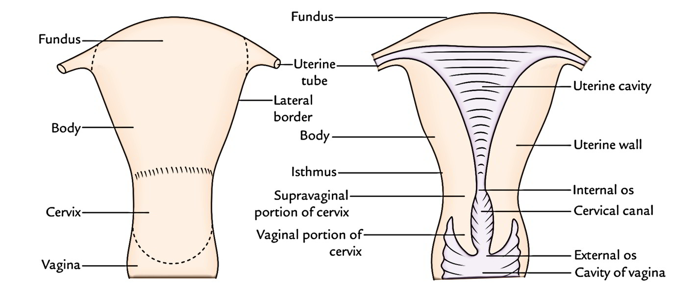 Supports of uterus anatomy