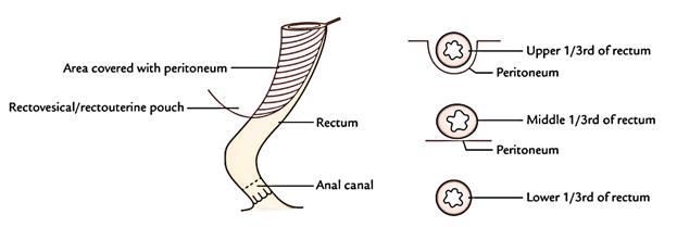 Rectum: Peritoneal Relation