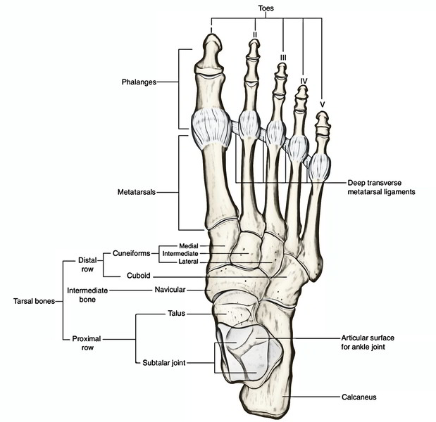 Easy Notes On 【Tarsal Bones】Learn in Just 4 Minutes!