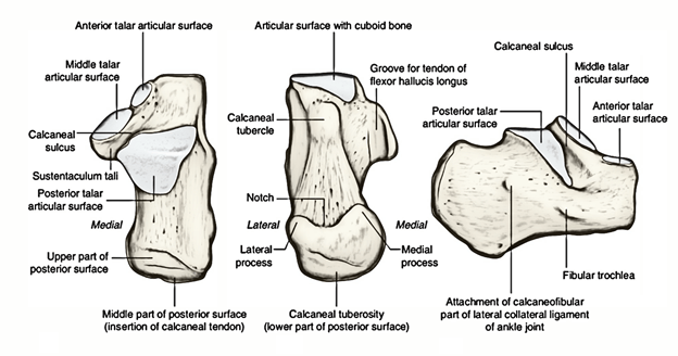 Easy Notes On 【Calcaneus】Learn in Just 4 Minutes!