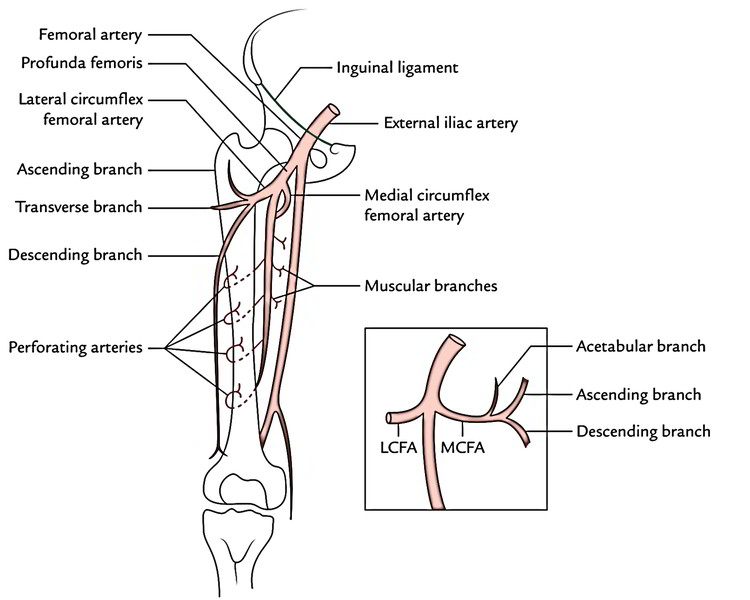 Easy 3 Mins Notes On 【Profunda Femoris Artery (Deep ...
