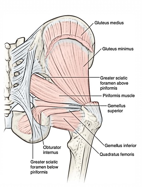 Easy Notes On Muscles Of The Gluteal Regionlearn In Just 6 Minutes