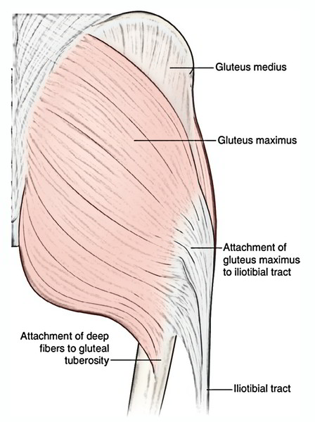 Easy Notes On 【Muscles of The Gluteal Region】Learn in Just 6 Minutes!