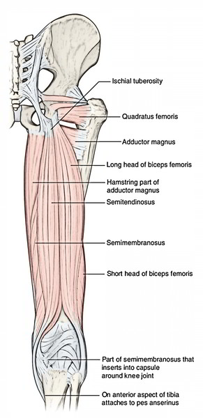 Easy Notes On 【Hamstring – Muscles on the Back of the thigh】