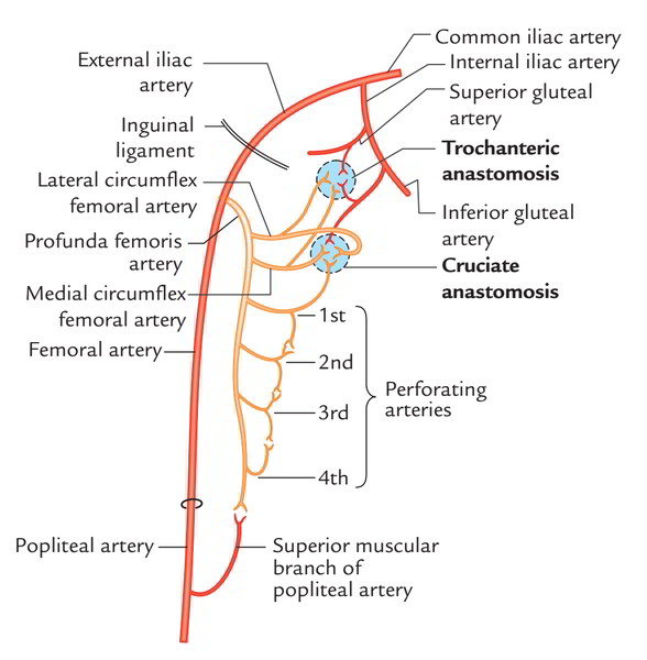 Easy Notes On 【Posterior Compartment of Thigh】Learn in Just 3 Mins!
