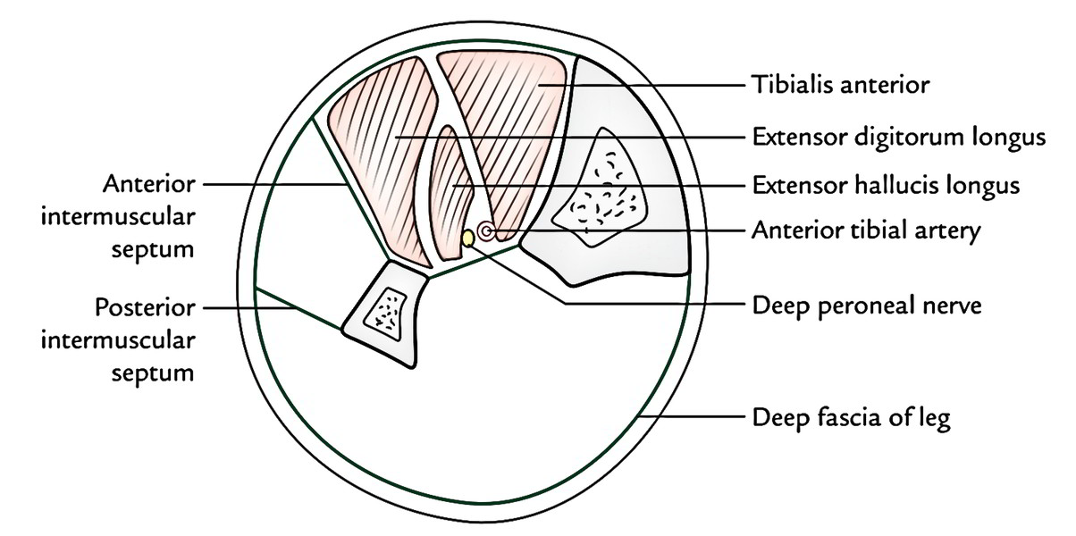 Anterior Compartment of The Leg – Muscles, Arteries, Nerves