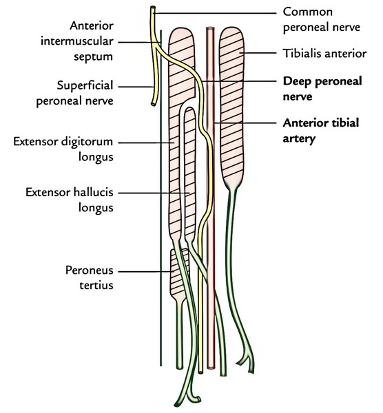 Easy Notes On Deep Peroneal Nerve Anterior Tibial Nerve