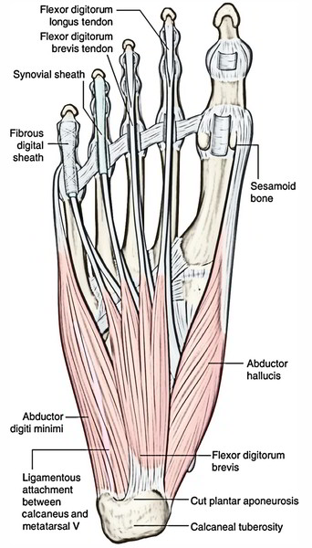 Easy Notes On 【Muscles of The Foot】Learn in Just 4 Minutes!