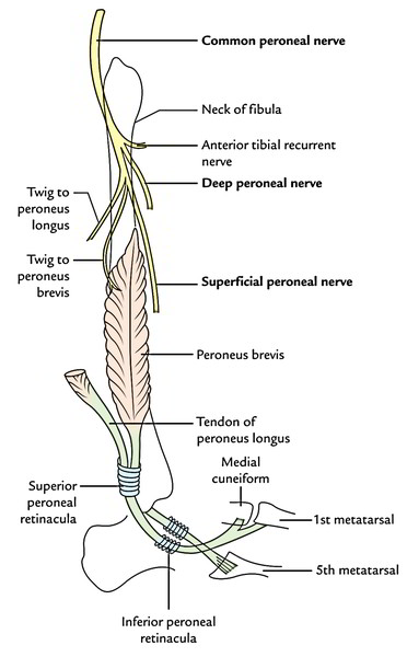 Superficial Peroneal Nerve (Musculocutaneous Nerve of The ...