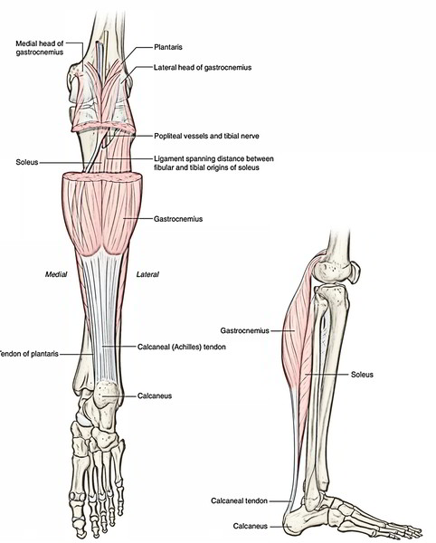 origin, insertion, nerve supply, and actions of the superficial muscles of  the rear of the leg
