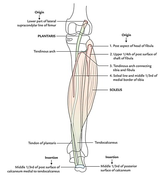 Easy Notes On 【Muscles of The Posterior Compartment of The Leg】