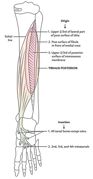 Easy Notes On Muscles Of The Posterior Compartment Of The Leg